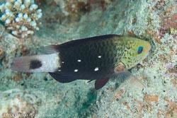 BD-131212-Marsa-Alam-1332-Chlorurus-sordidus-(Forsskål.-1775)-[Daisy-parrotfish].jpg